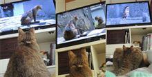 なおも猫のテレビを見る、猫の殿。
