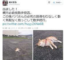 散歩拒否をする「柴犬まる」さんのツイッターがあまりに可愛いと話題に