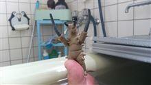 風呂なう[地底怪獣グドン登場!]