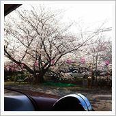 車庫から見える桜並木