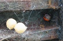 「セアカゴケグモ」って漢字にすると「背赤後家蜘蛛」か><