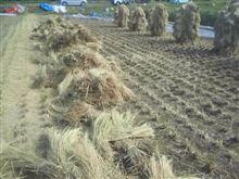 台風前に収穫