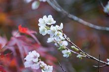 四季桜(*´∇`*)
