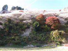 2014 小原村の四季桜と紅葉