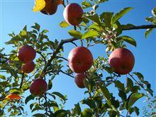3年ぶりのリンゴオフに行ってきました~。