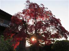 夕日のもみじと冬の花
