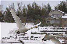 今年も白鳥がきました。