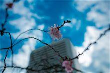 旧芝離宮恩賜庭園 〜十月桜と雪吊りのある風景〜