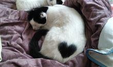 見るだけで幸せになれそうな「超絶奇跡的」な柄のネコが話題に