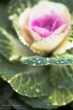 雨上がりのバラとツバキ