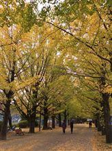 いちょうと紅葉を見に昭和記念公園。。11月9日