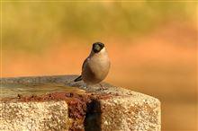 野川公園と聖蹟桜ヶ丘公園の野鳥達
