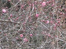 梅咲き始めました