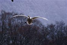 安曇野白鳥撮影オフ(^^♪