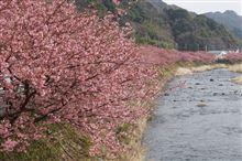 河津桜まつり 2015