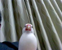 文鳥の歌♪