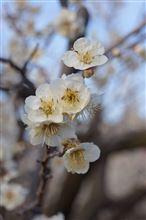春を探して その1 曽我梅林に行ってきました。