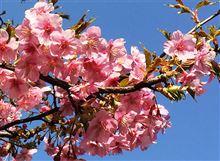 【サクラ】代官山の河津桜!【サク】