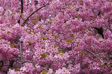 春を探して その2 松田の河津ザクラ