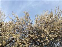 春近し・・・梅の花が満開です・・・テールも開きました!!