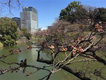 千鳥が淵の桜が咲きたがっています。
