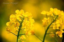 春を告げる花桃と菜の花