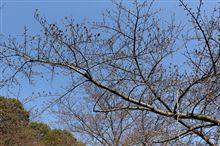 桜は咲いたかな??