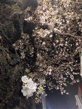 夜桜、いいですね。