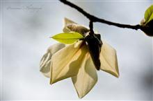 春運ぶ辛夷(こぶし)と野の花たち