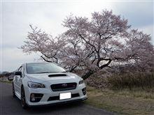 明日は雨そうなので桜求め色々行って来ました!