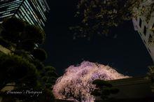 成子の常圓寺「夜桜」