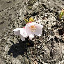 【オープン】 桜 【魂】