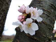 桜満開まで、もう少し!