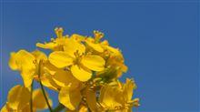 千葉県で菜の花とか撮ってきました