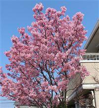 我が家の桜は今日が満開