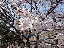 埼玉 咲きました。