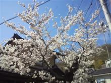 車庫から花見(^_^)v