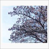 花見して 桜もち食べて ウマ ...
