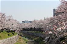 名古屋市 桜満開