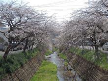 しだれ桜・内子町