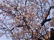 2015年 桜が咲きました♪