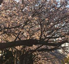 猫も杓子も、桜、桜、桜。