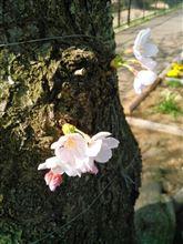 桜。風変わりなところへ