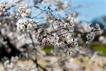 桜満開(*^_^*)
