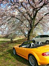 朝から、黄色の車と桜の樹の下でプチオフ会??