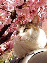 桜、さくら、cherry blossom