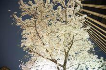またまた夜桜撮影です