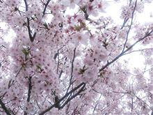 桜巡り。(^。^)