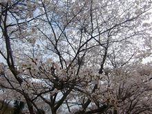 珍しく桜ドライブしてみたら