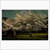 千波湖 桜 ライトアップ
